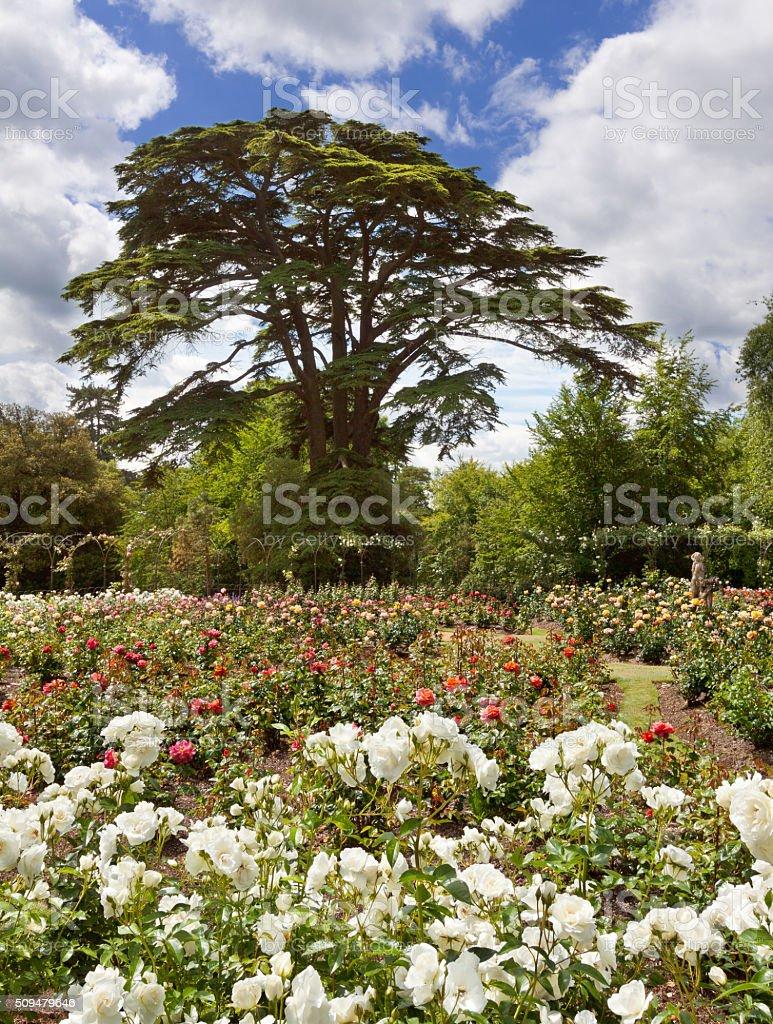 Rose Garden at Blenheim Palace, Woodstock, Oxfordshire, England, United Kingdom. stock photo