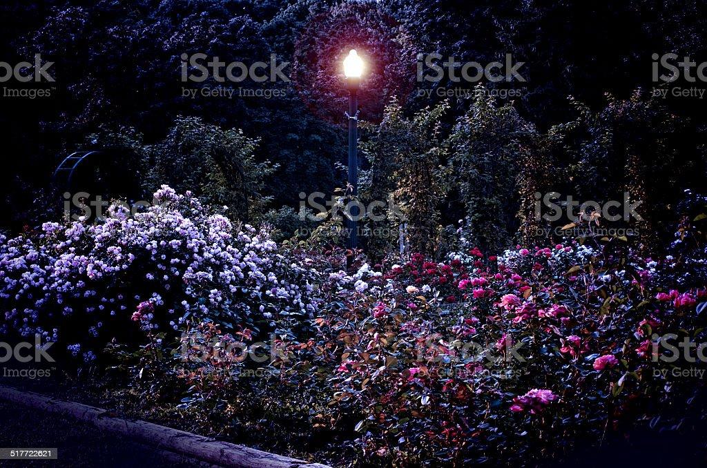 rose garden at night stock photo