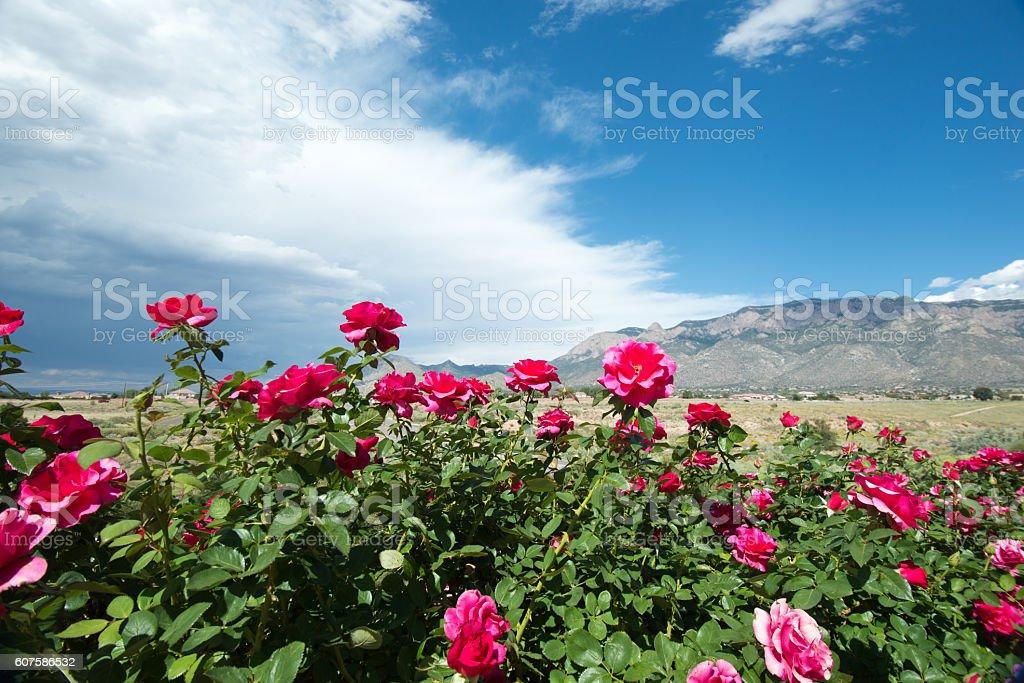 Rose Garden with Sandia Mountains stock photo