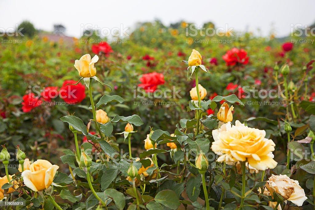 Rose garden # 1 XXXL stock photo