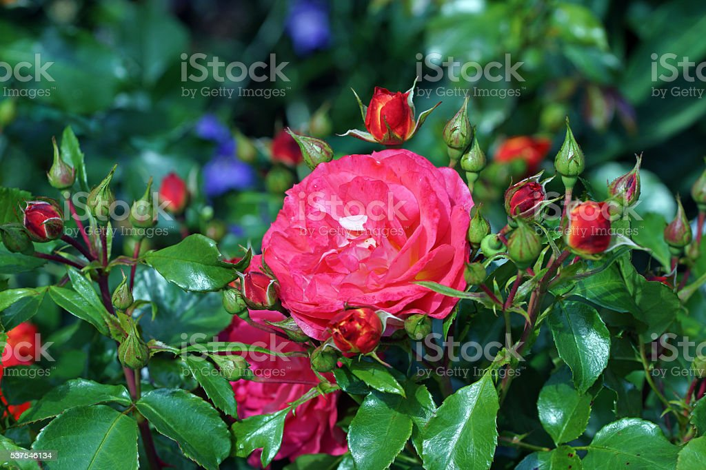 Rose 'Gebrüder Grimm' stock photo