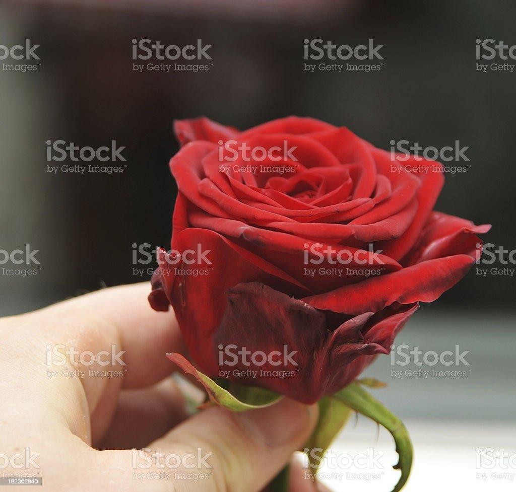 rose gift stock photo
