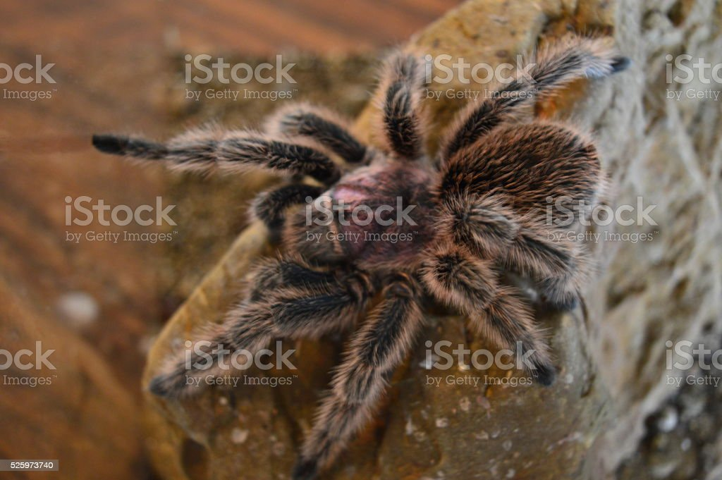 rose hair tarantula stock photo