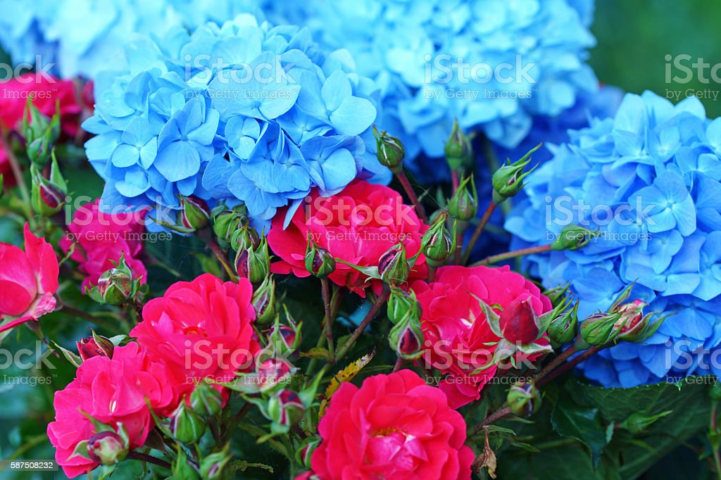 Rose 'Heidefeuer' and hydrangea stock photo