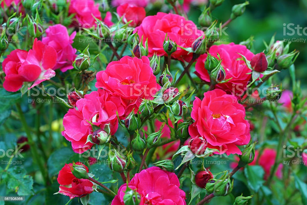 Rose 'Heidefeuer' stock photo