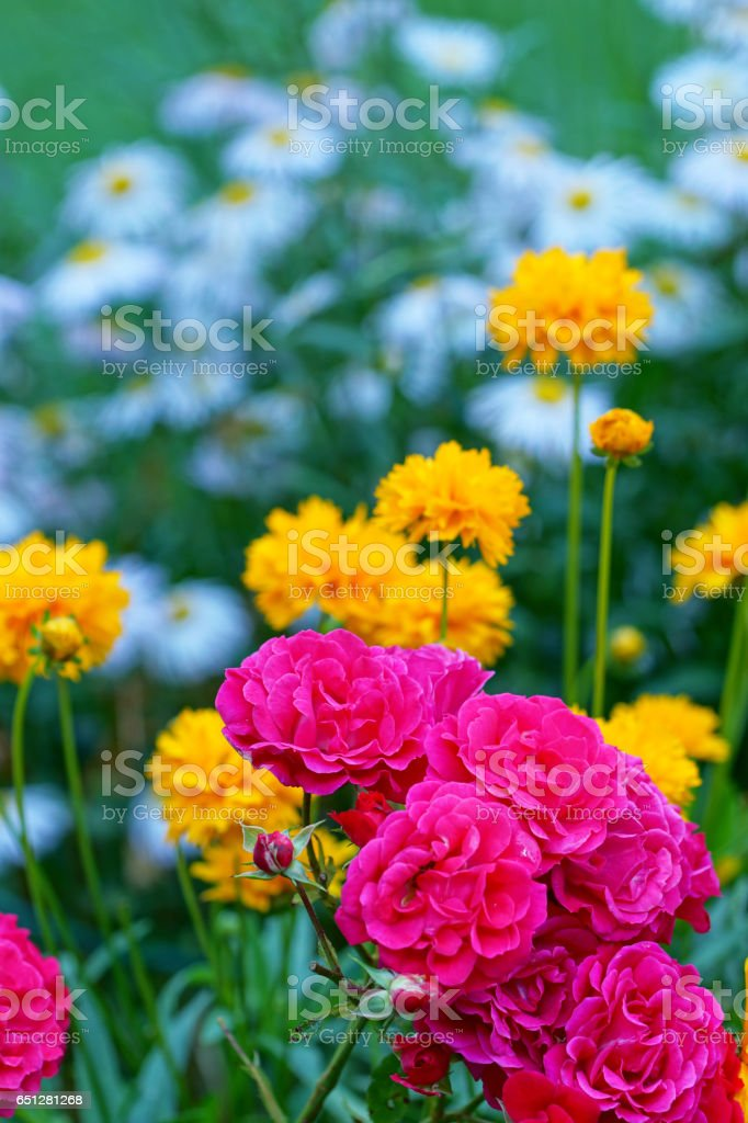 Rose 'Heidefeuer', tickseed and summer asters stock photo