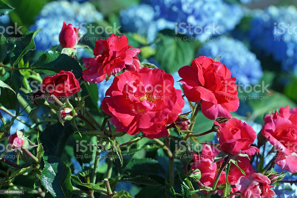 Rose 'Heidefeuer' with hydrangea stock photo