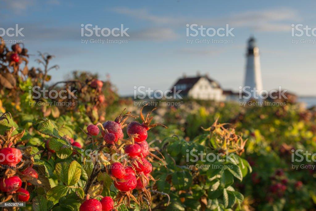 Rose Hip and Portland Head Lighthouse stock photo
