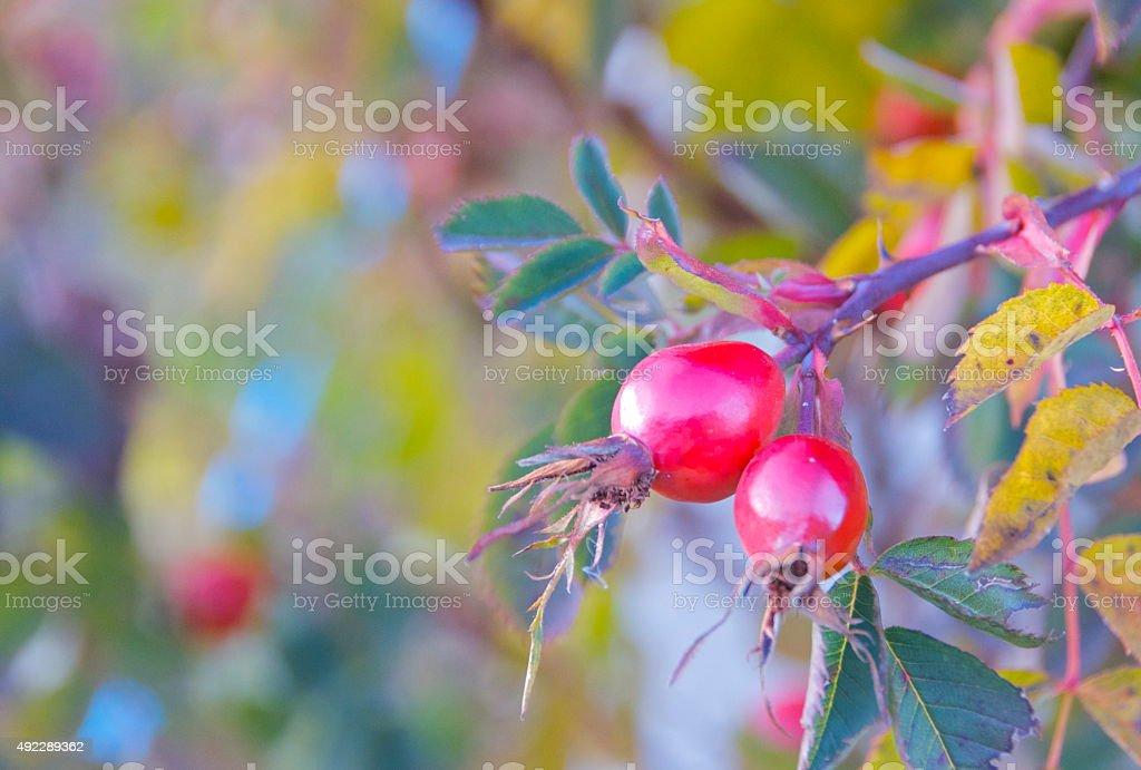rose hip in autumn stock photo