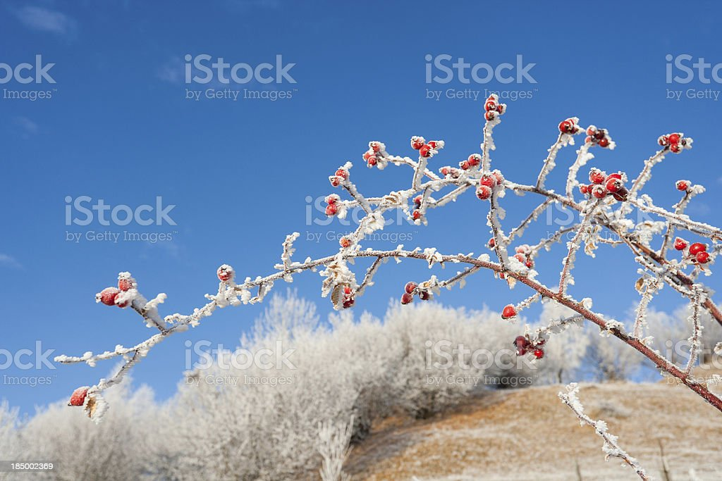 Rose Hip royalty-free stock photo