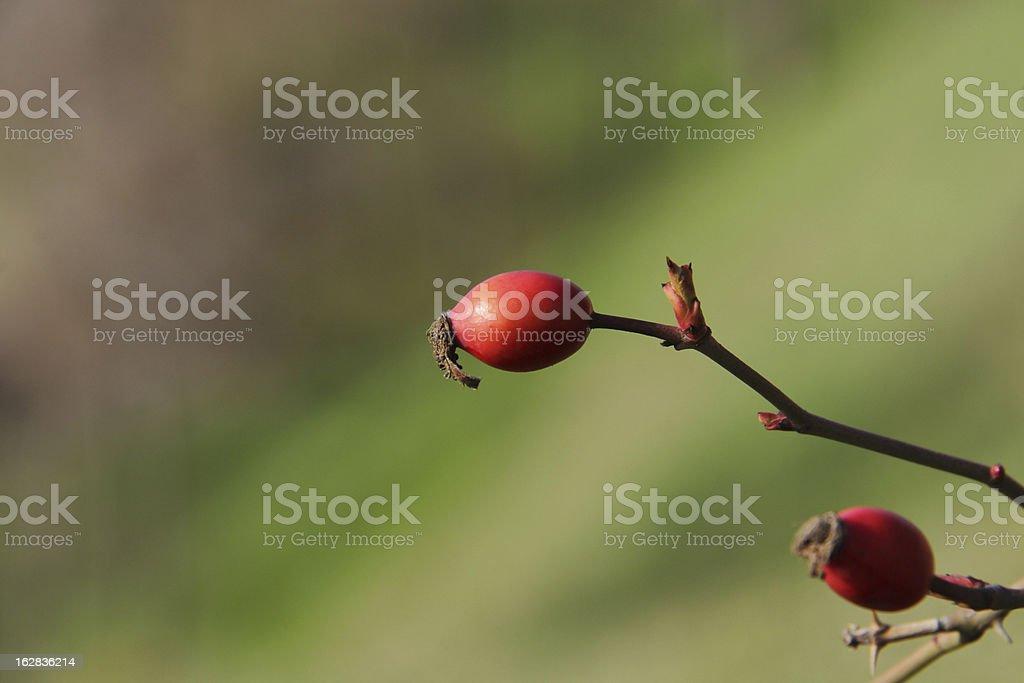Rose Hip Plant royalty-free stock photo