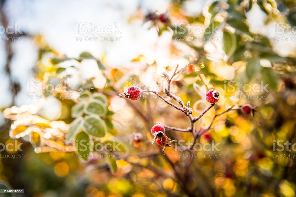 Rose hip with frost in autumn colours. stock photo