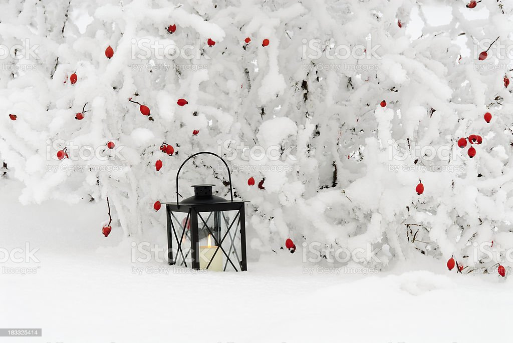Rose hips in the snow with lantern royalty-free stock photo