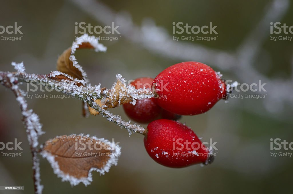 Rose hips on branch with hoarfrost royalty-free stock photo