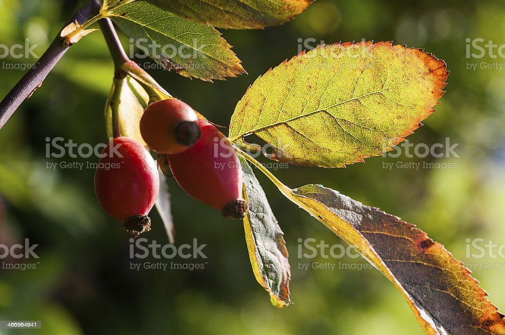 Rose hips on the bush stock photo