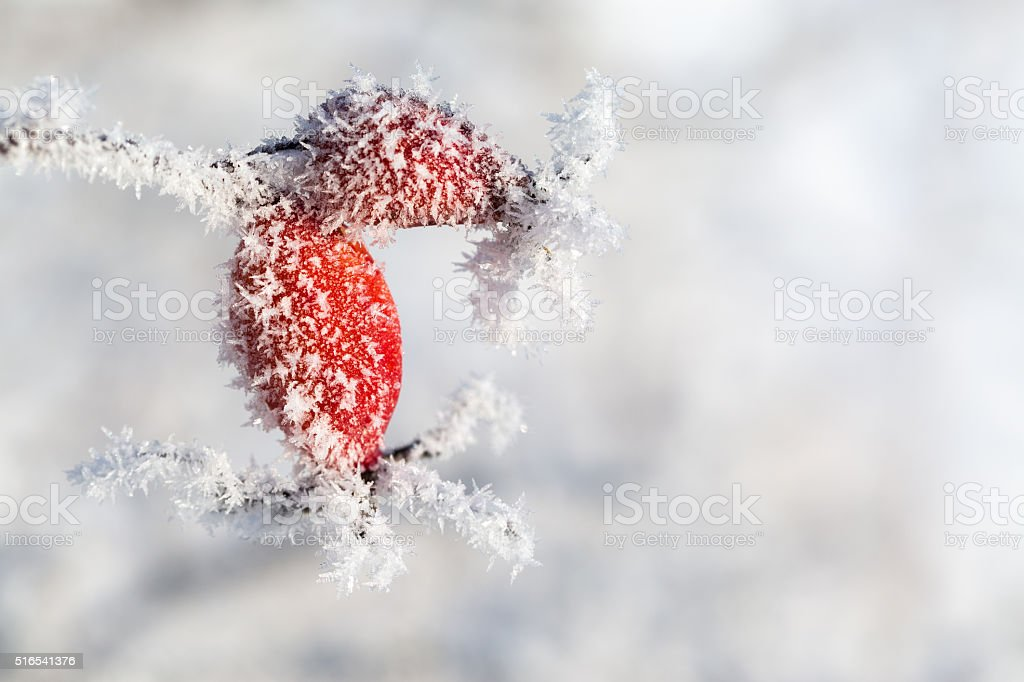 Rose hips with ice crystalls stock photo