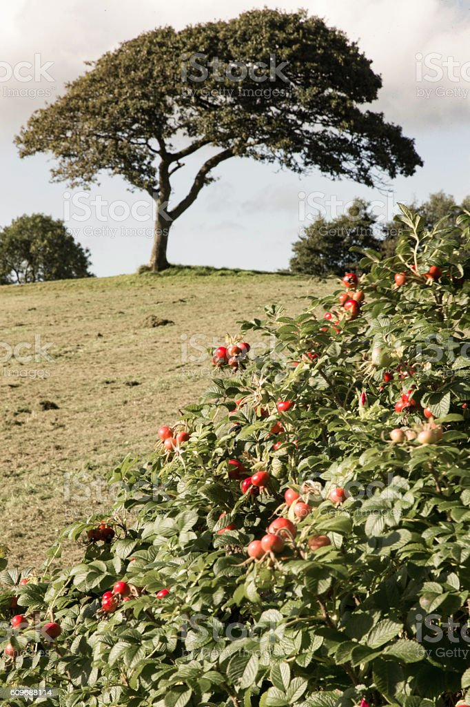 rose hips with oak tree in background stock photo