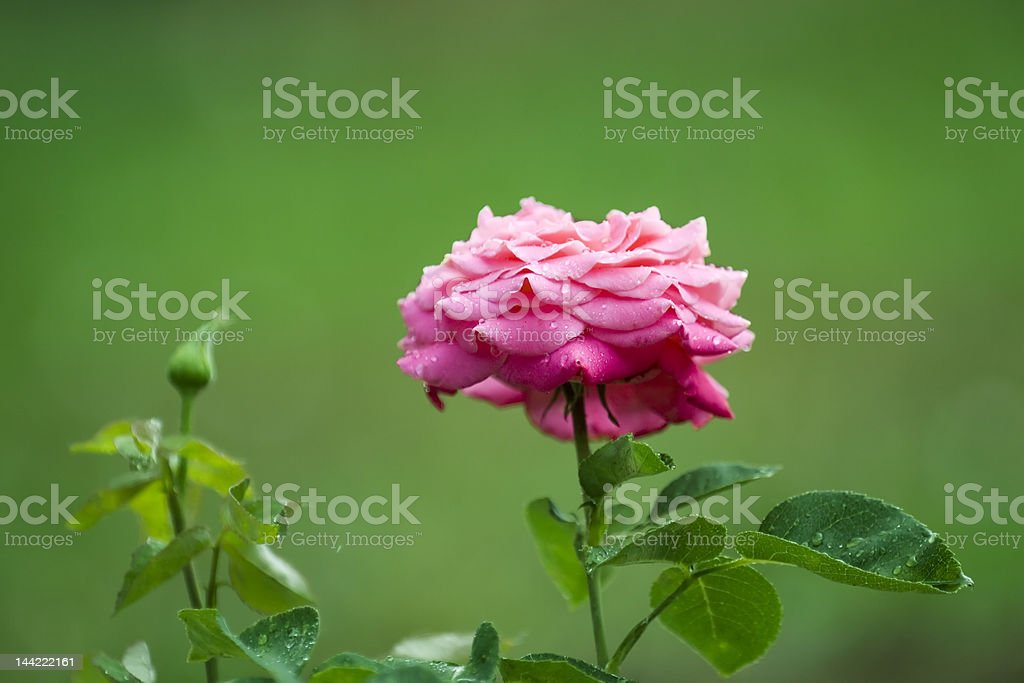 rose in a rainy day royalty-free stock photo