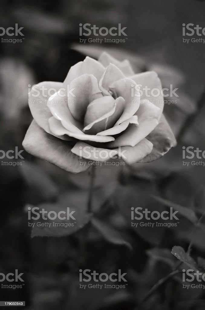 Rose in black and white royalty-free stock photo