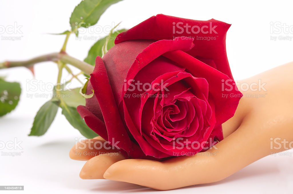 Rose in hand royalty-free stock photo