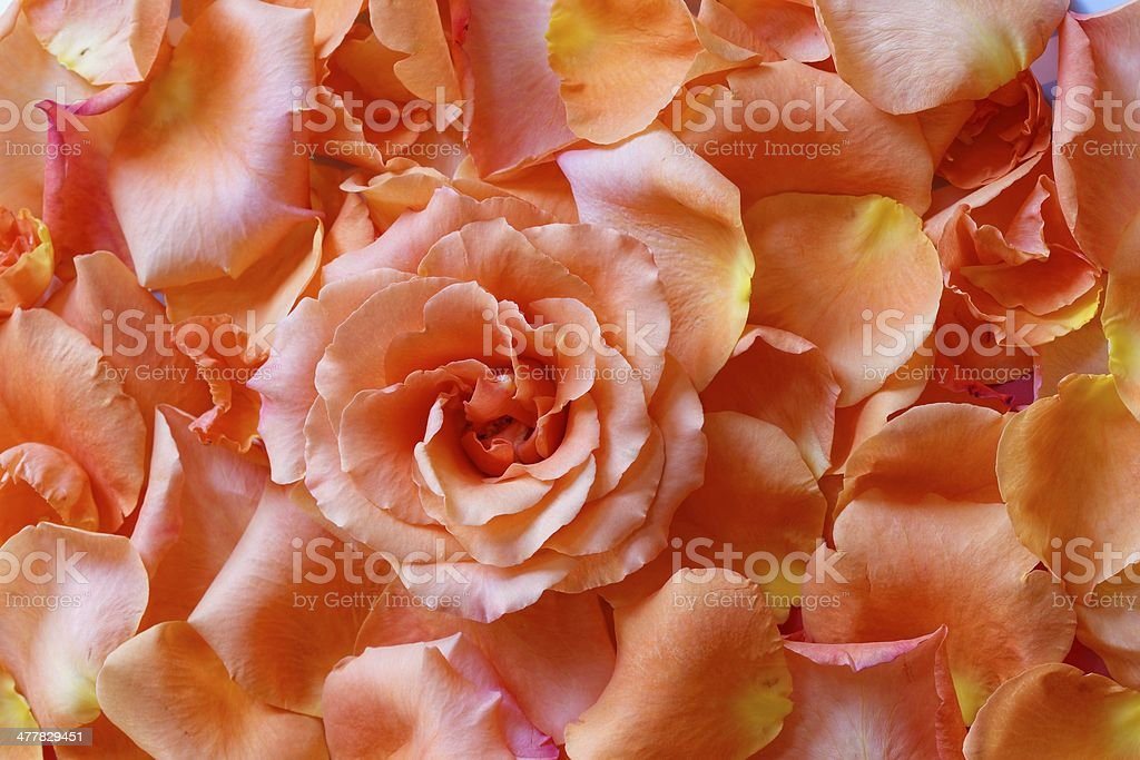 Rose in Petals stock photo