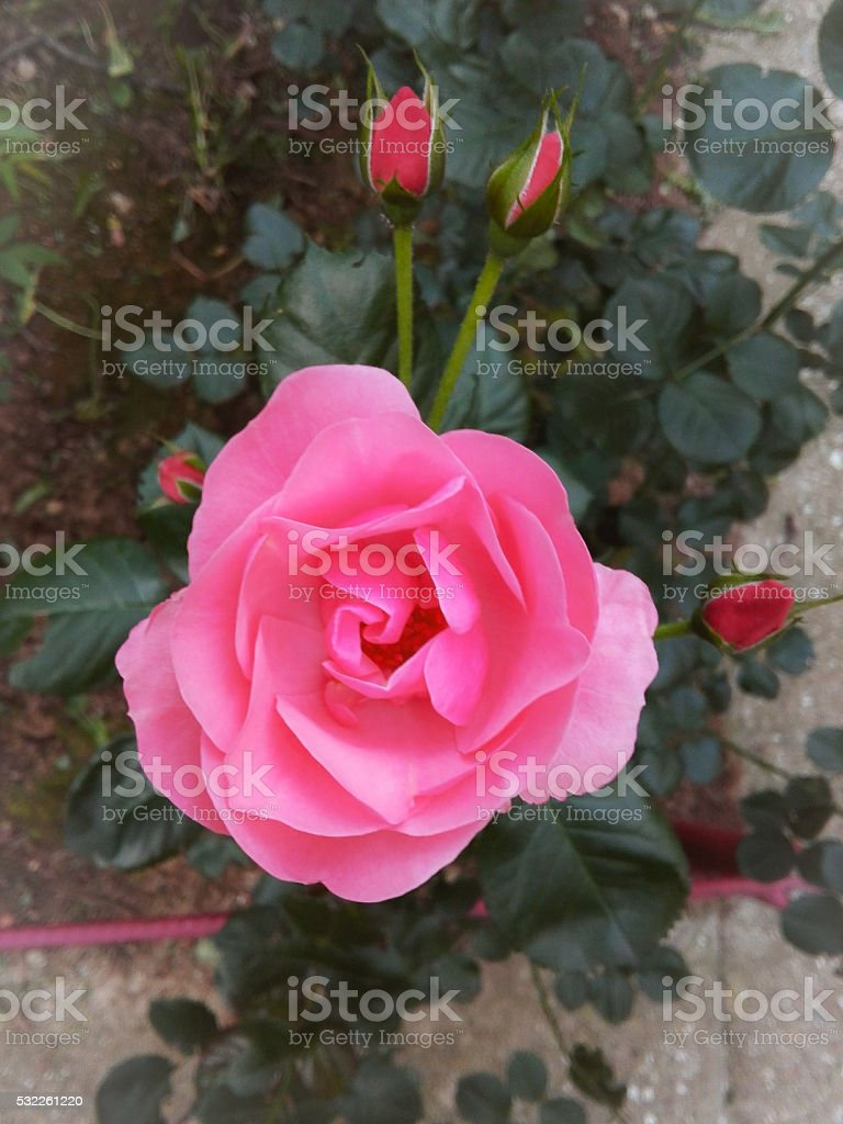 Rose in pink stock photo