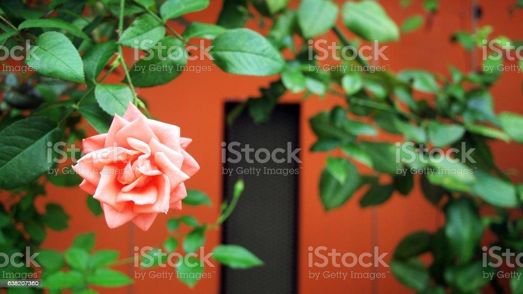 Rose in the Garden stock photo