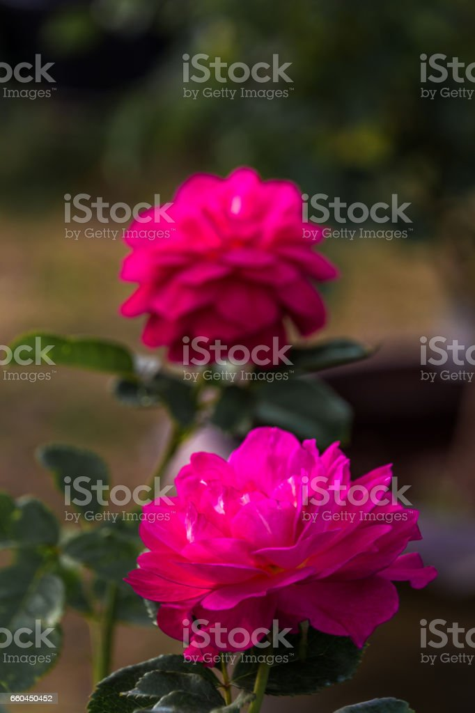 Rose in the garden stock photo