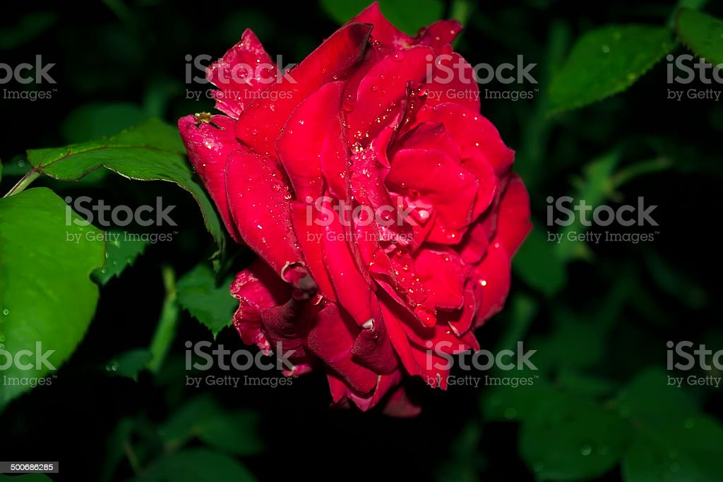 Rose in the rain stock photo