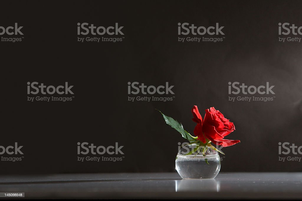 rose in the sunlight - moody background royalty-free stock photo