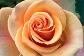 rose is with drops of dew