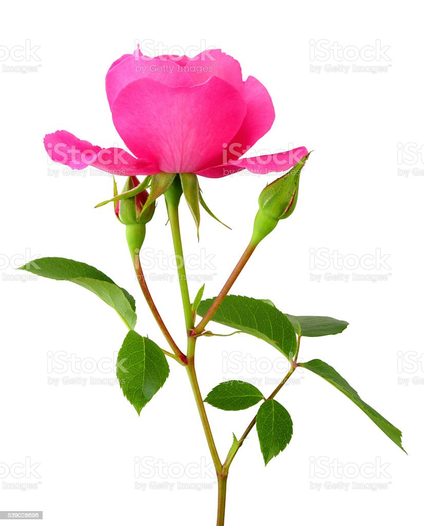 Rose isolated inclusive clipping path. stock photo