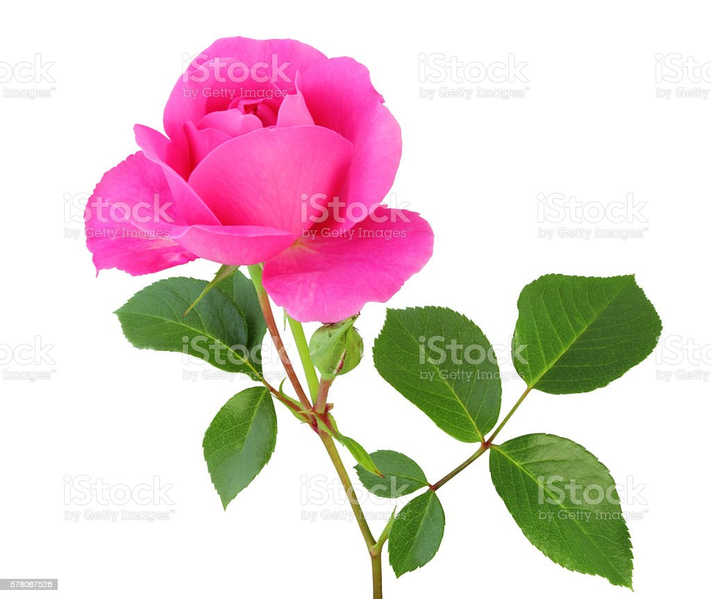 Rose isolated - inclusive clipping path stock photo