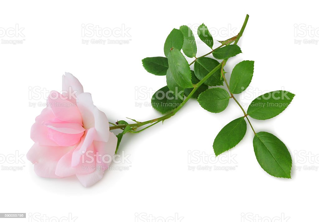Rose isolated inclusive clipping path without shade stock photo