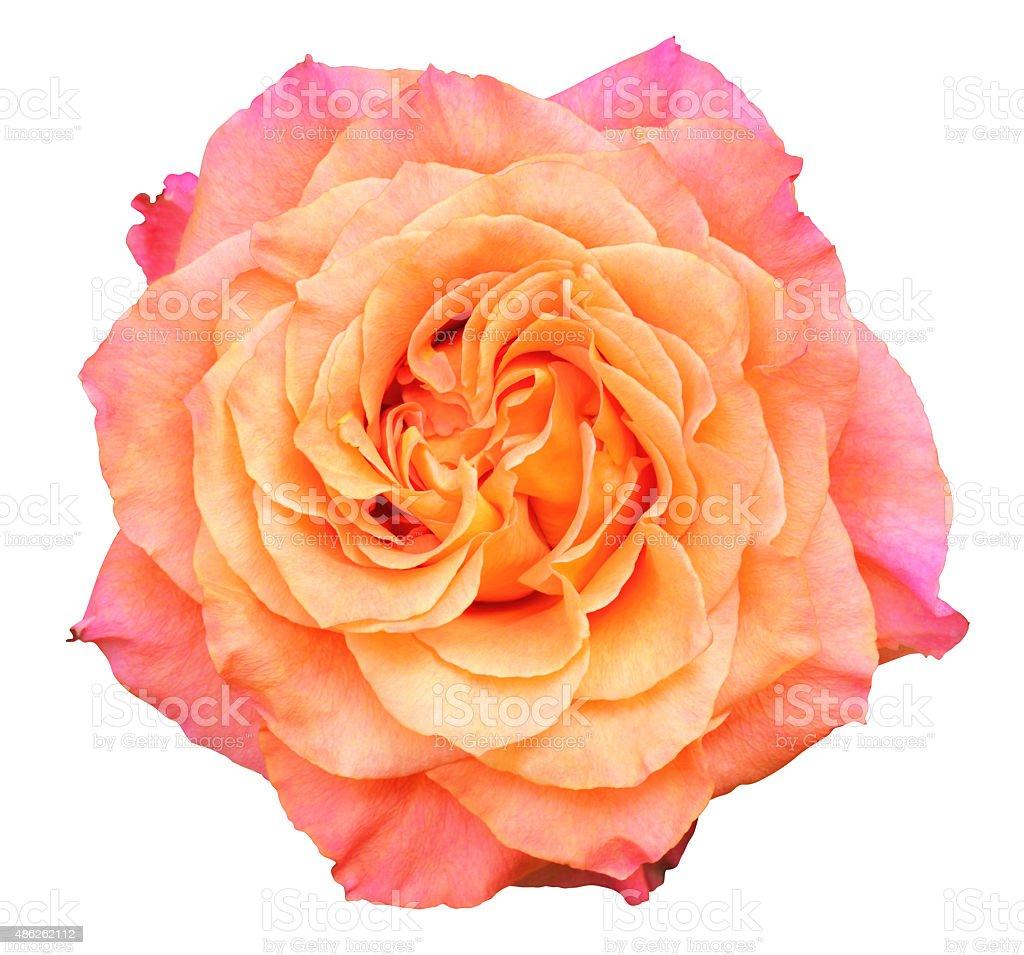 Rose isolated on white background. stock photo