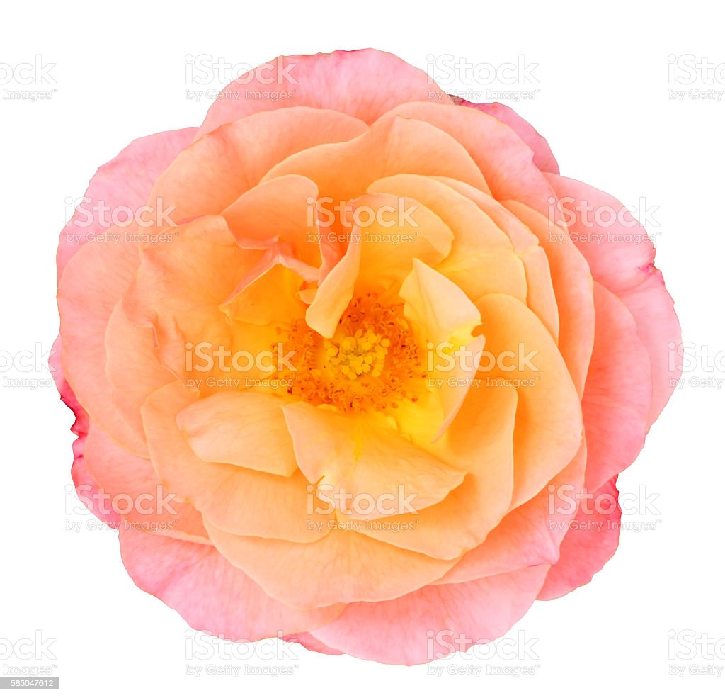 Rose isoliert - inclusive clipping path stock photo