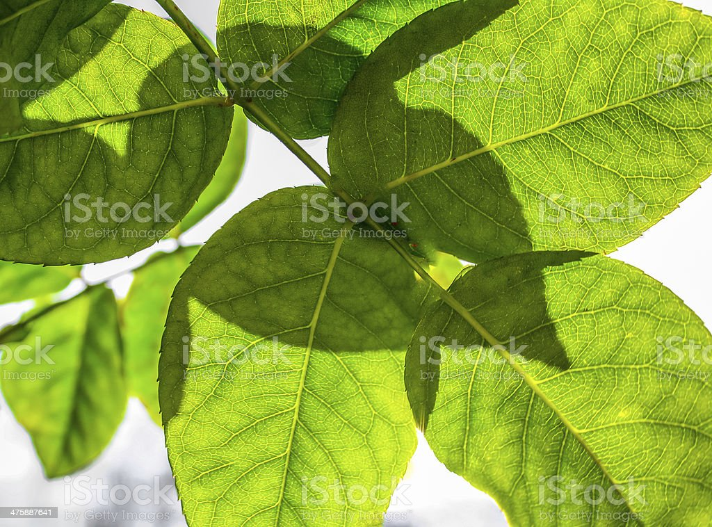 Rose Leaf royalty-free stock photo