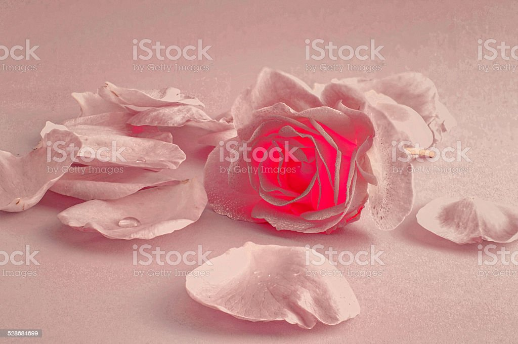 Rose, leaves in pastel colors stock photo
