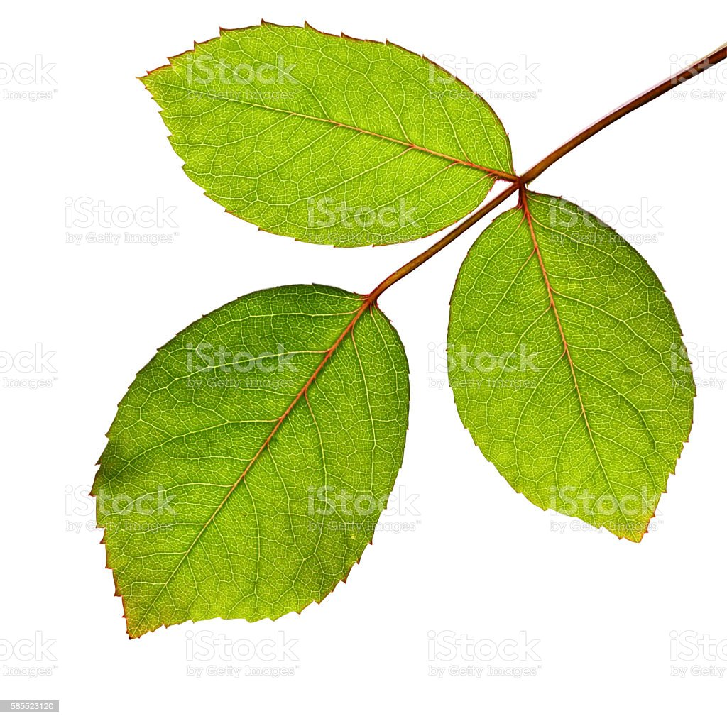Rose leaves isolated - inclusive clipping path stock photo