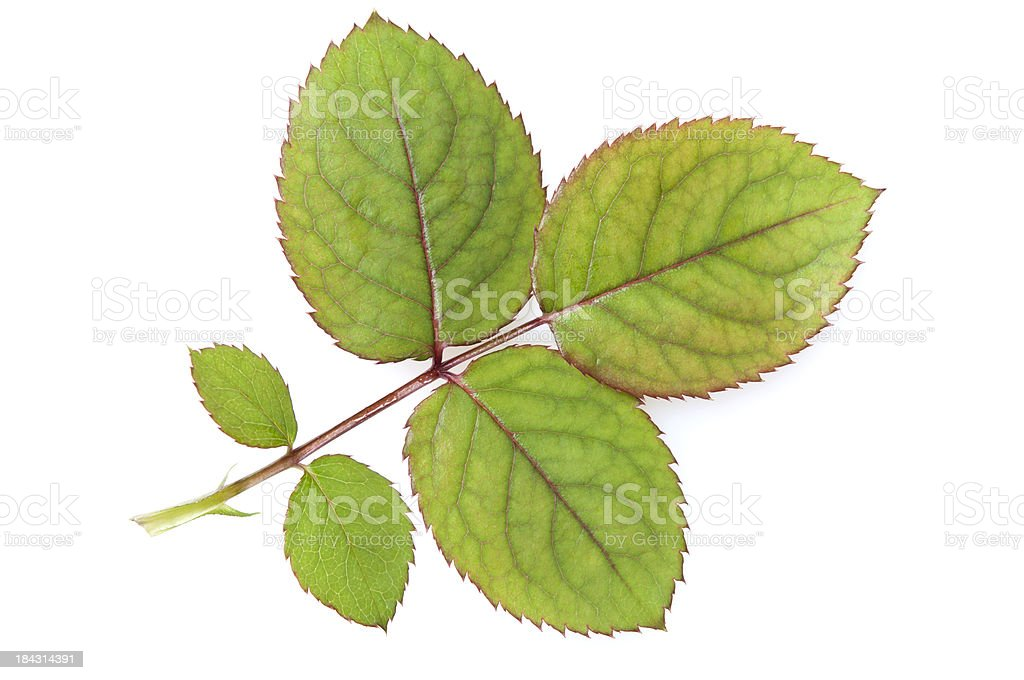 rose leaves stock photo