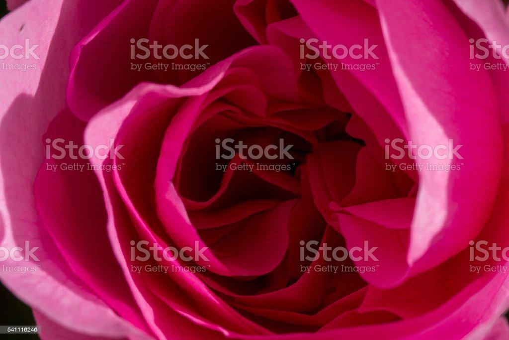 Rose macro stock photo
