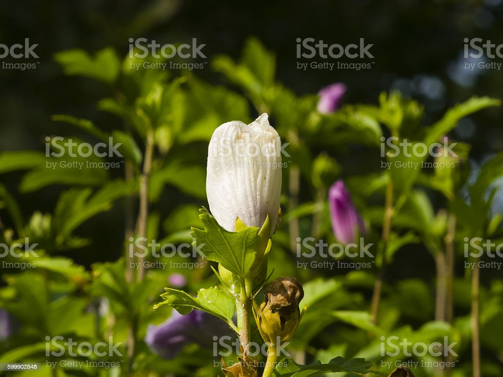 Rose Mallow or Syrian ketmia, Hibiscus syriacus, flower bud close-up stock photo
