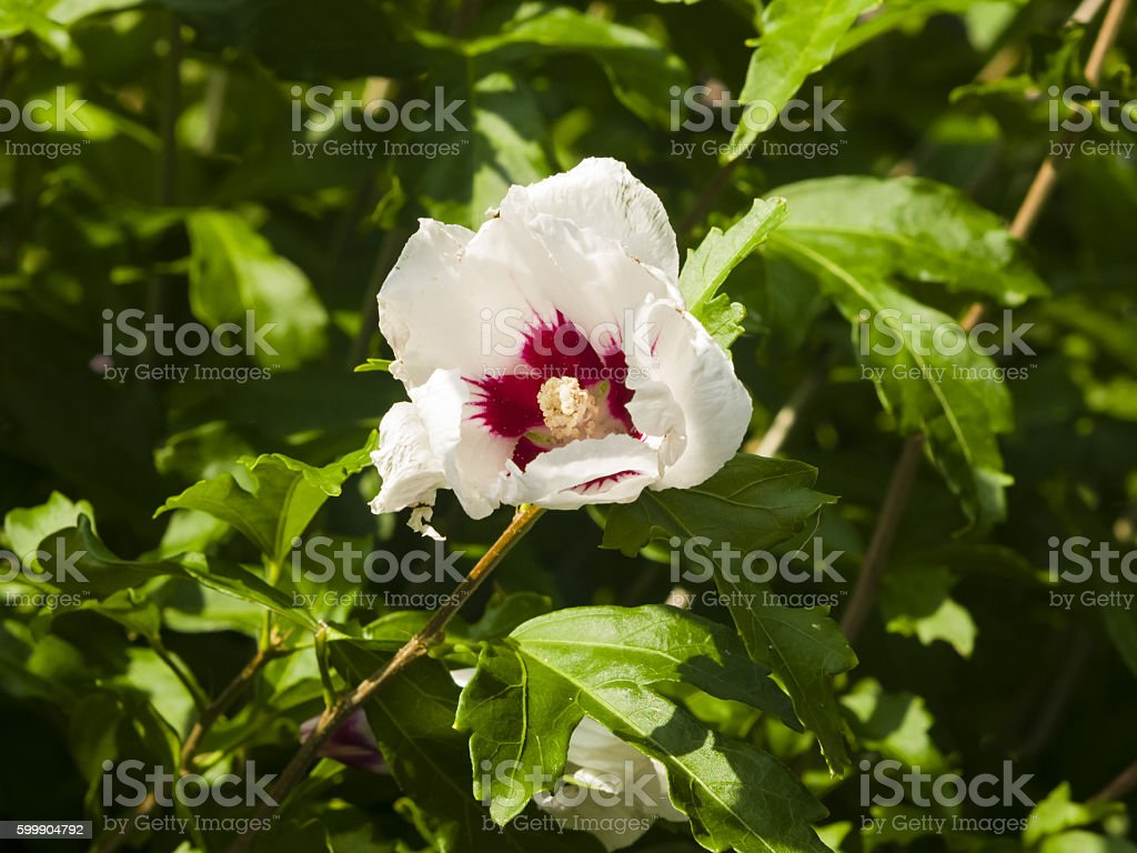 Rose Mallow or Syrian ketmia, Hibiscus syriacus, flower close-up stock photo