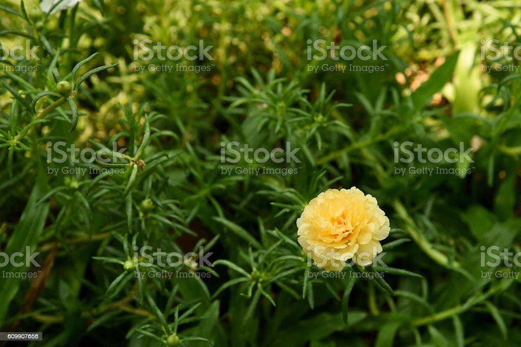 Rose moss stock photo