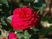 Rose Nahmaufnahme