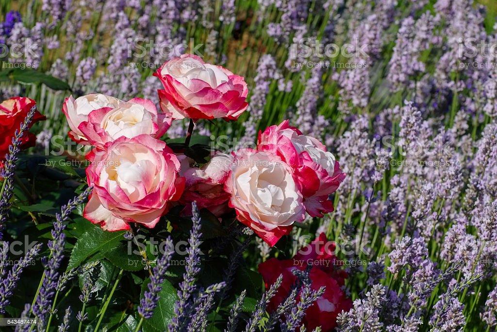 Rose Nostalgie and lavender stock photo