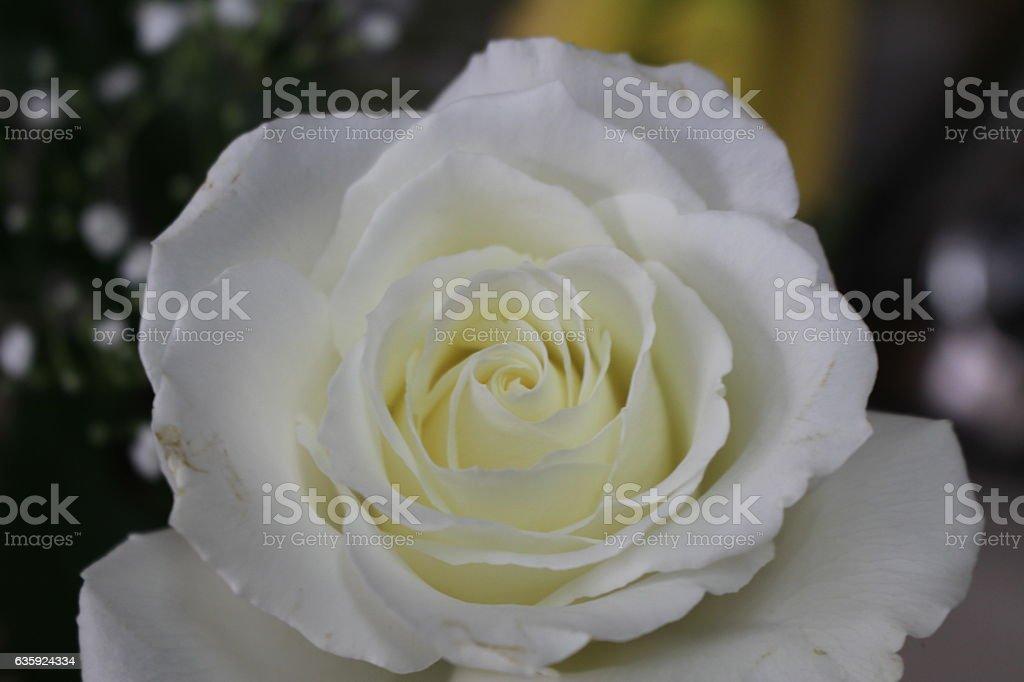 Rose of Friendship stock photo