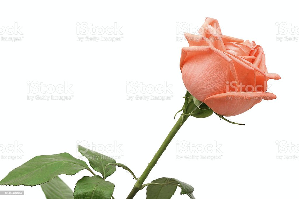 Rose of peach color royalty-free stock photo
