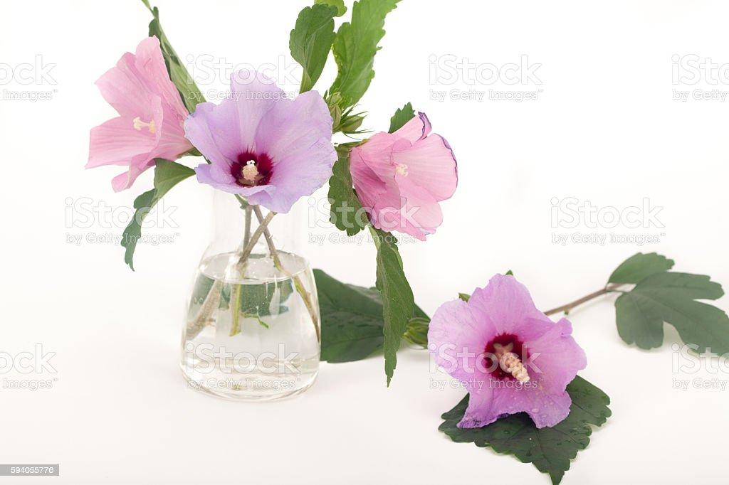 Rose of Sharon flowers bloom stock photo