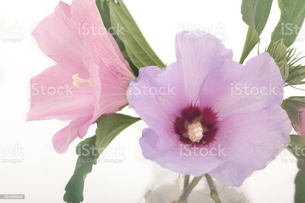 Rose of Sharon, hibiscus syriacus stock photo